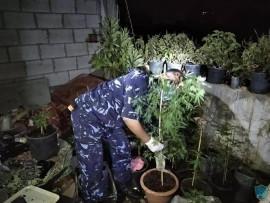 الشرطة في محافظة اريحا والاغوار تضبط مشتلا لزراعة المخدرات