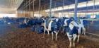 6 مسلحين أطلقوا النار على الأبقار في مزرعة تابعة لشركة الجنيدي، وقتلوا 49 بقرة