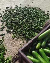 مزارعون يتلفون كميات كبيرة من محصول الخيار