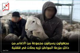مجهولون يسرقون مجموعة من الاغنام من داخل مزرعة المواطن نزيه بصلات في قلقيلية.